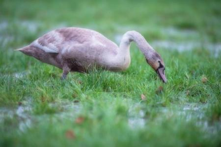 Young mute swan foraging in marshy field with puddles.