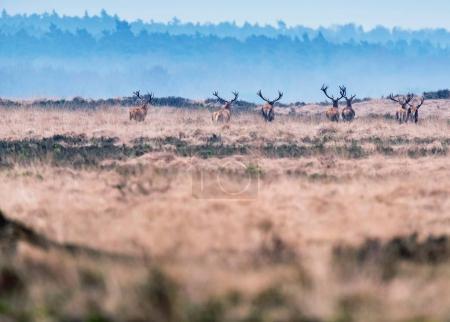 deer in heather landscape