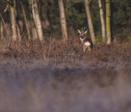 deer in heather bushes