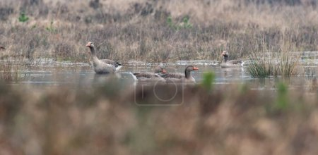 Four greylag geese in fen of marshland.