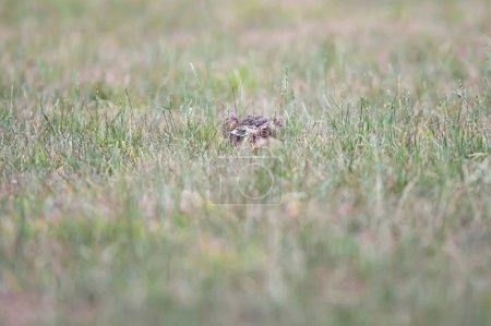 Photo pour Alerte lièvre assis dans la prairie . - image libre de droit