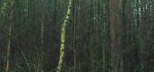 Birch trunks in dark winter fir forest.