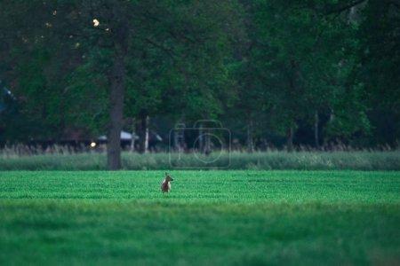 Photo pour Chevreuil femelle dans la prairie pendant le coucher du soleil . - image libre de droit