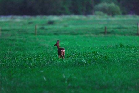 Photo pour Chevreuil femelle en milieu rural au crépuscule . - image libre de droit