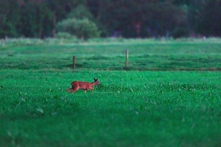Photo pour Chevreuil femelle marche dans le pré en zone rurale pendant le crépuscule . - image libre de droit