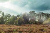 Heathland with juniper bushes under cloudy sky.