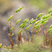 Dew drops on the moss