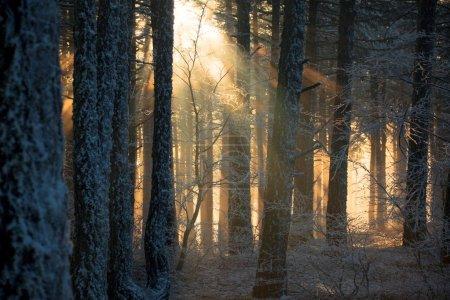 Photo pour Forêt de pins dans la brume le matin - image libre de droit