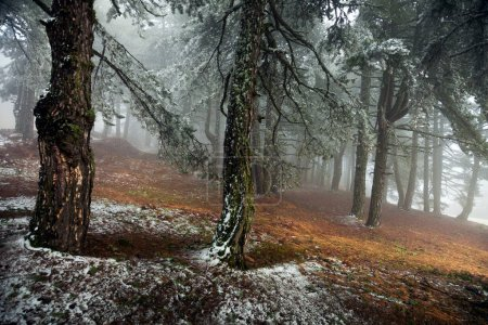 Photo for Pine forest in the mist in the morning - Royalty Free Image