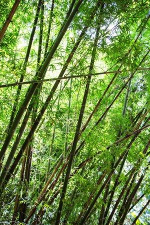 Photo pour Forêt de bambous arbres Nature Concept - image libre de droit