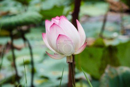 Photo pour Bud de Lotus poussant dans l'étang - image libre de droit