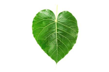 Photo pour Nervure de feuille verte sur fond blanc - image libre de droit