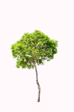 Photo for Green tree on light background - Royalty Free Image
