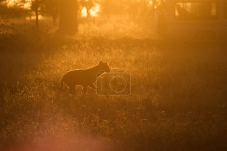 African hyena with zebras in background at beautif...