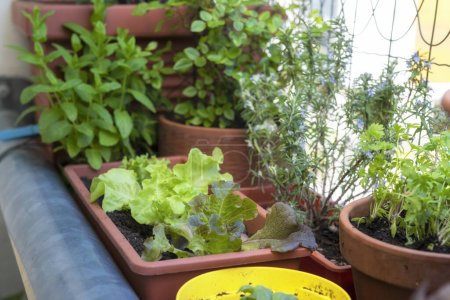 Photo for Balcony gardening fresh and organic vegetables horticulture in urban house - Royalty Free Image