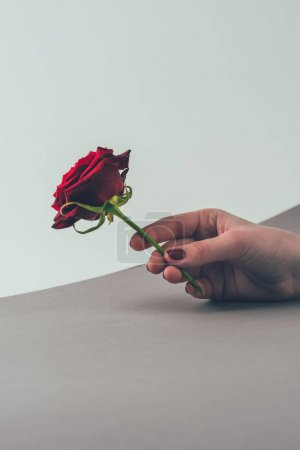 cropped image of woman holding red rose in hand, valentines day concept