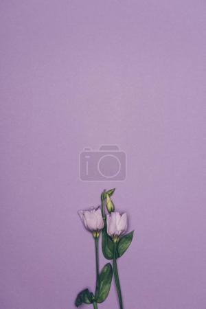 top view of eustoma flowers with green leaves isolated on purple