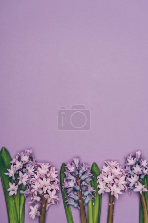 top view of arranged hyacinth flowers isolated on purple