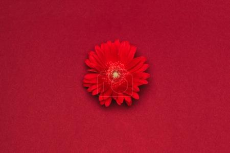 Photo for Close up view of beautiful red flower isolated on red - Royalty Free Image