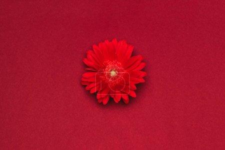 Foto de Cerrar vista de hermosa flor roja aislado en rojo - Imagen libre de derechos