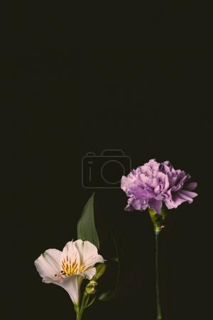 beautiful blooming pink lily flower and purple carnation flower isolated on black