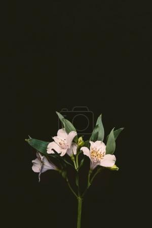beautiful tender pink lily flowers with green leaves on twig isolated on black