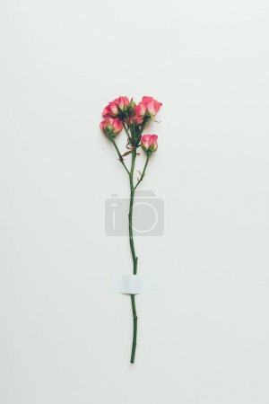 beautiful tender pink roses on twig isolated on grey
