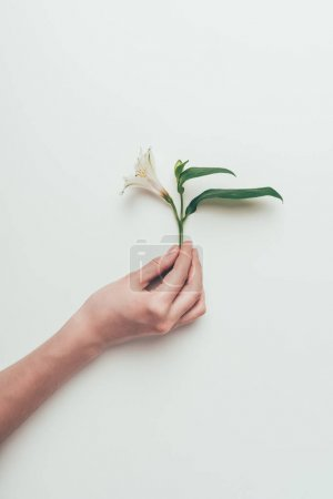 cropped shot of person holding tender white lily flower with green leaves isolated on grey