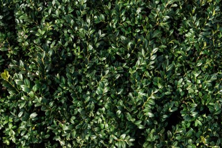 Photo for Green box plant leaves texture - Royalty Free Image