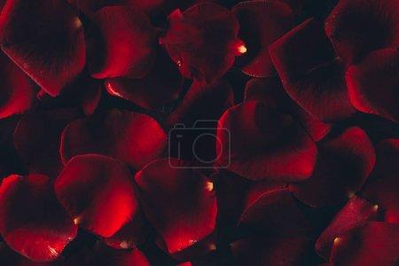 Photo pour Belles pétales de rose rouge fond floral - image libre de droit