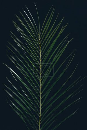 top view of green tropical palm leaves isolated on black
