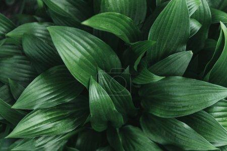Full frame image of hosta leaves background