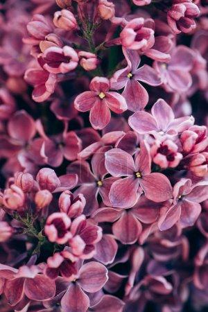 Photo pour Image plein cadre de fond lilas violet - image libre de droit