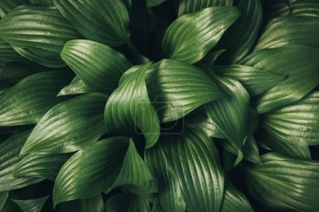 Photo for Full frame image of hosta leaves background - Royalty Free Image