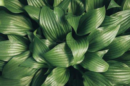 Photo pour Image plein cadre de l'arrière-plan des feuilles de hosta - image libre de droit
