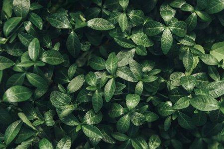 Photo pour Image plein cadre du fond de feuilles vertes - image libre de droit