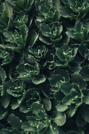 full frame image of green succulents leaves background