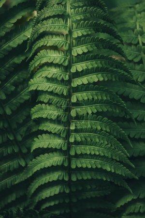 Photo pour Gros plan de feuilles de fougère fond - image libre de droit