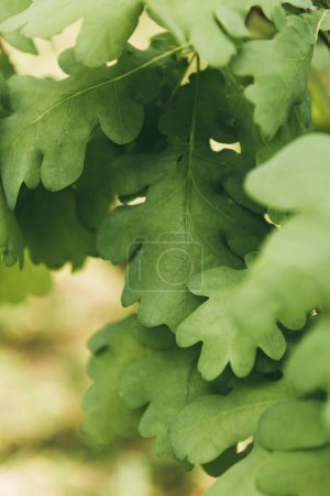 close up shot of oak leaves on blurred background