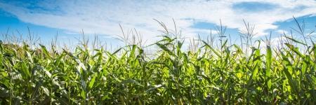 Campo de maíz contra cielo azul.