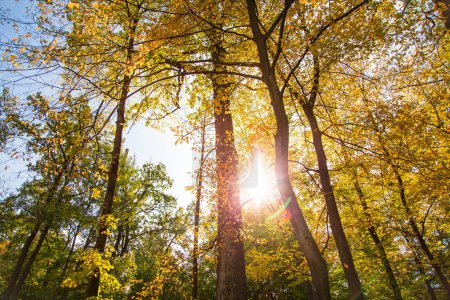 Photo for Autumn forest in a nice sunny day. Yellow autumn nature background. - Royalty Free Image