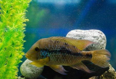 Photo pour Geophagus brésilien dans l'aquarium - image libre de droit