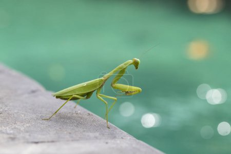Praying mantis, mantis religiosa , close up. Islan...