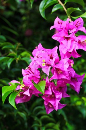 Beautiful Flowering bougainvillea