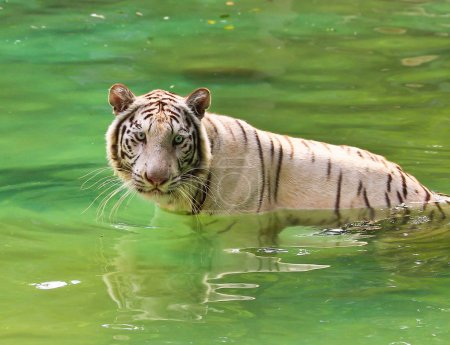 Photo for Rare white tiger in the Thai zoo in water - Royalty Free Image