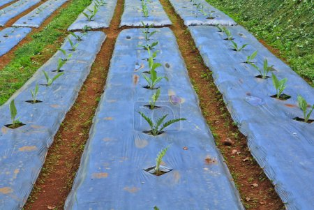 Vegetable plots on farm