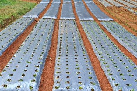 Vegetable plots on farm