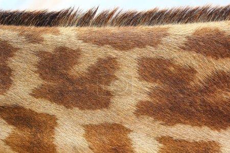 Photo pour Modèle de texture girafe gros plan - image libre de droit