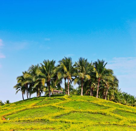 Coconut palms on island