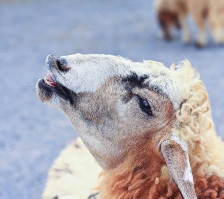 Cute Sheep on farm